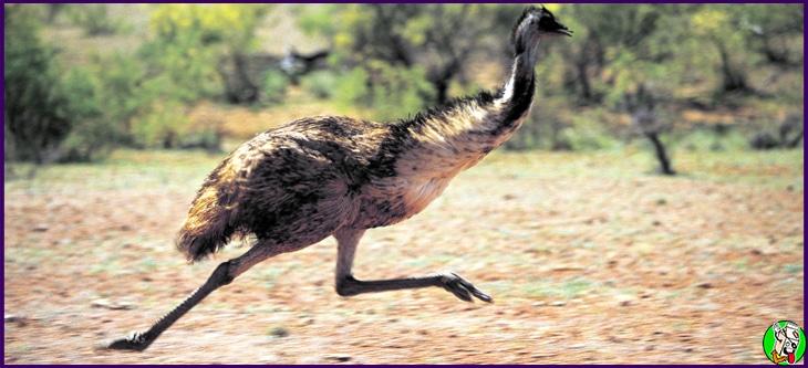 guerra del emu